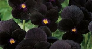 10 Black Flowers and Plants to Add Drama to Your Garden