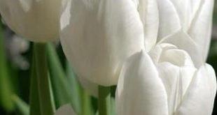 A tulipa é originária da Turquia e foi levada para a Holanda no século XVI. V...