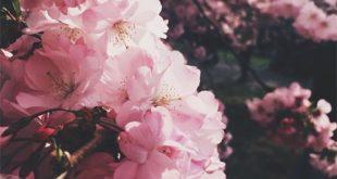 Cherry Blossoms, pink, flowers, floral, garden, beauty