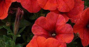 Petunia Bingo Perfectunia Orange' (3)