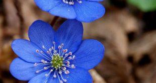 blue ~ Hepatica nobilis
