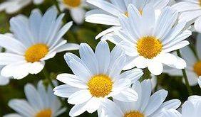 daisies_white_meadow_summer_mood_64786_640x1136