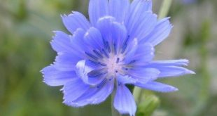 Chicory - magical blue flower