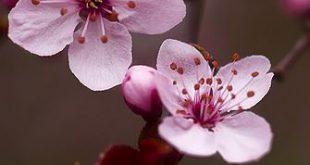 DSC_5515-2 - #cherryblossom #DSC55152