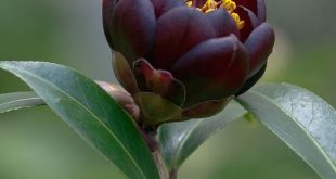 "Japanese Camellia ~ Miks' Pics ""Flowers ll"" board @ www.pinterest.com..."