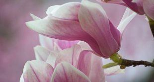 ღ Love is all around ღ — Pink magnoliasFoto von benshell von Flickr