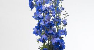 25 Different Types of Delphiniums
