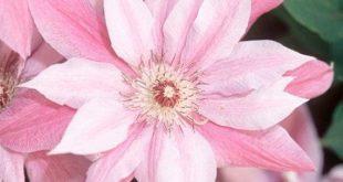 25 rosa weiße Clematis Samen mehrjährige Blume Garten Hardy Plumeria Samen Sommer Frühling Re...