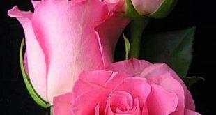 Auswahl der besten rosa Blumen für Ihren schönen Garten