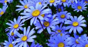 Blue Marguerite, Felicia amelloides, 20 seeds, full sun, sturdy perennial, zones 8 to 11, low water, easy care, sun or shade, vibrant blue