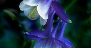 Columbines: Colorado state flower; dove, foolishness, symbol of Aphrodite, peace...