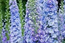 Delphinium--the perfect cottage garden plant. (Won't grow well in my zone--...