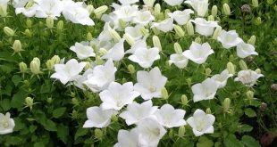 Flowers Seeds Campanula Carpatica White from Ukraine #1133