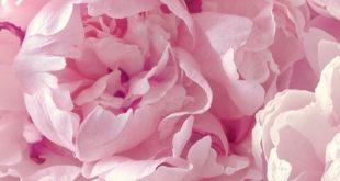 Pfingstrose | Blumen | schöne farbe | Hintergrund | Fitz & Huxley | www.fitzandhuxl ...