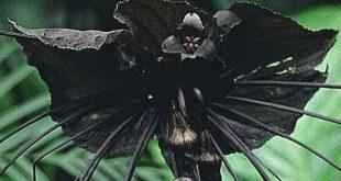 Tacca chantrieriCat's Whiskers, Devil Flower, Bat Plant